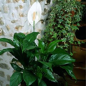 akompagntoit-spatiphyllum